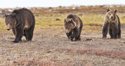 grizzly sow and cubs photo