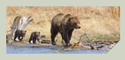 grizzly bear photo